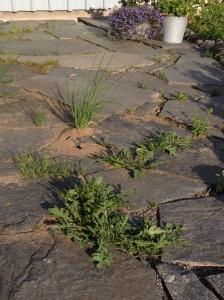 Visst är det kul med växter som planterar sig själva... här ruccola