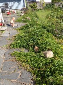Vildviner växer vilt minst sagt - ser vi inte upp kommer det att växa över huset...